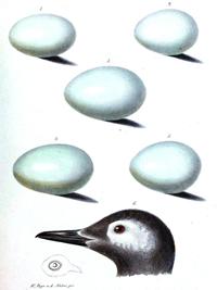 pato_huevos